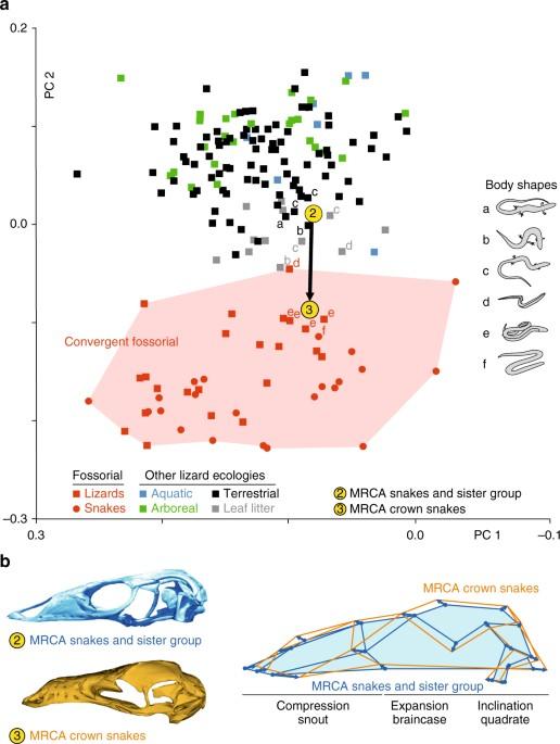 The Ecological Origins Of Snakes As Revealed By Skull Evolution