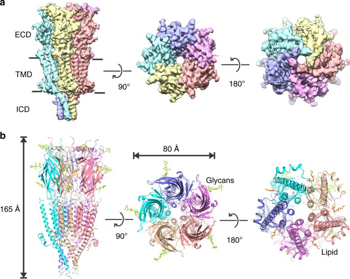 Cryo-EM structure of 5-HT 3A receptor in its resting conformation ...