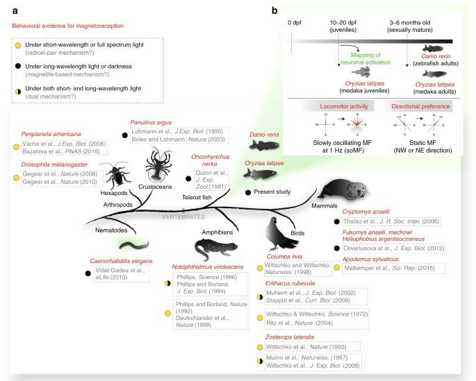 Zebrafish and medaka offer insights into the neurobehavioral ...