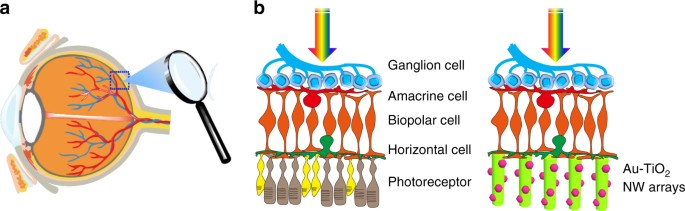 Nanowire arrays restore vision in blind mice | Nature ...