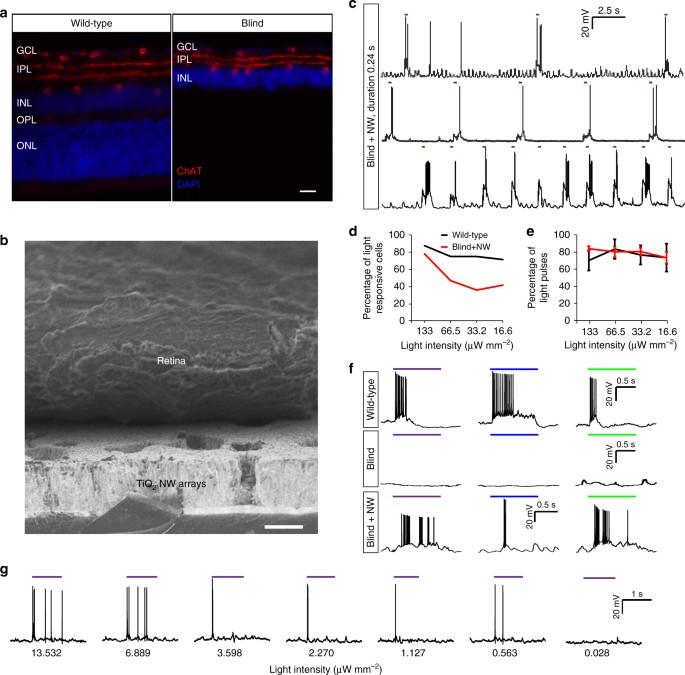 Nanowire arrays restore vision in blind mice