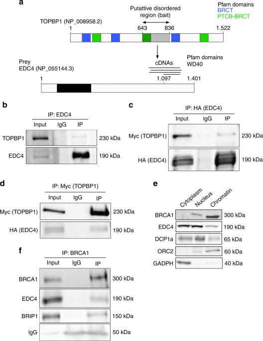 Decapping Protein Edc4 Regulates Dna Repair And Phenocopies Brca1