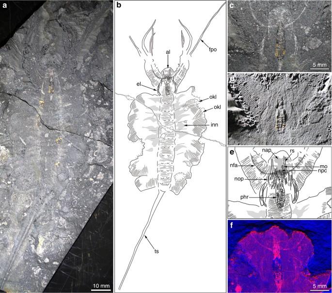 Brain and eyes of Kerygmachela reveal protocerebral ancestry of the