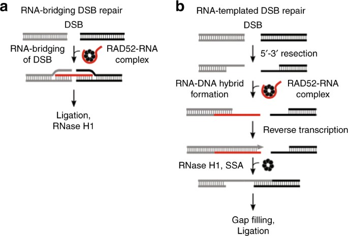How RNA transcripts coordinate DNA recombination and repair