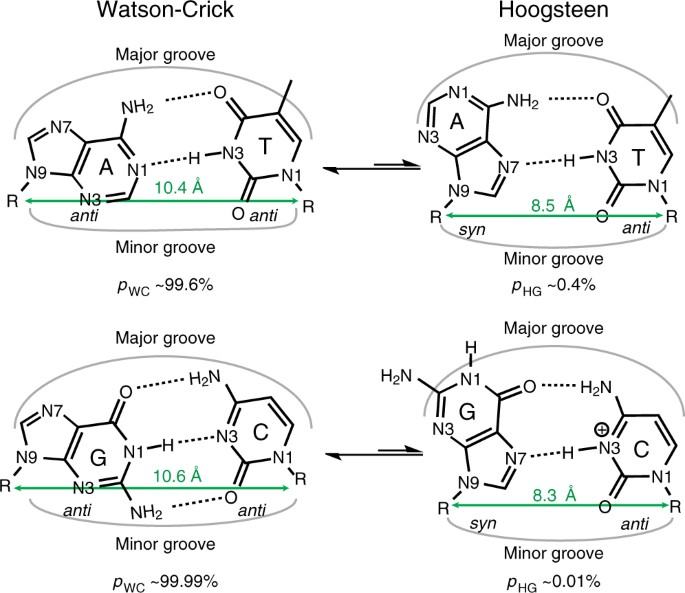 f244159836b Dynamic equilibrium between Watson-Crick and Hoogsteen base pairs. The  abundances of both G–C and A–T Hoogsteen at neutral pH were taken from ref.