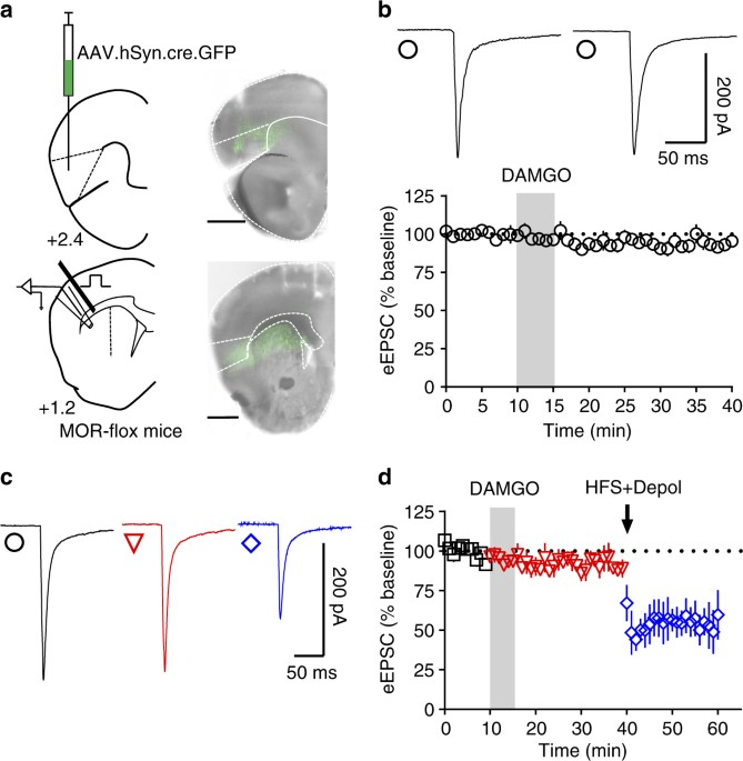 Insular Cortex Alterations In Mouse >> Alcohol Exposure Disrupts Mu Opioid Receptor Mediated Long Term