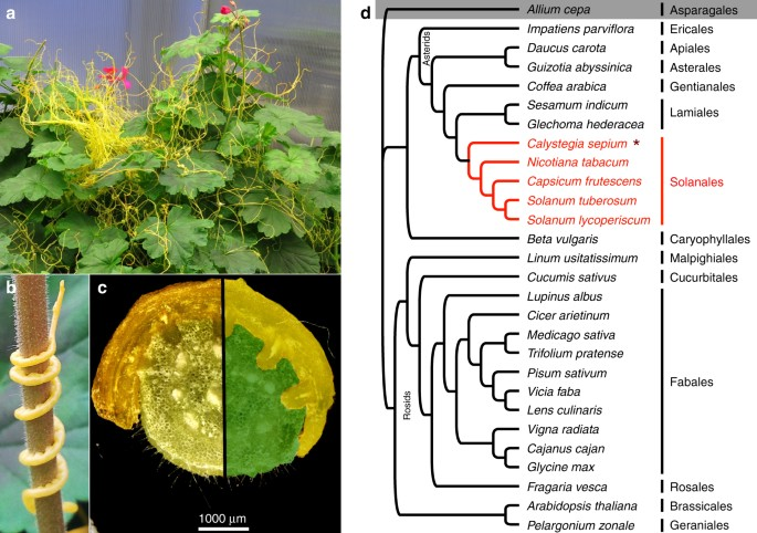 Footprints Of Parasitism In The Genome Of The Parasitic Flowering
