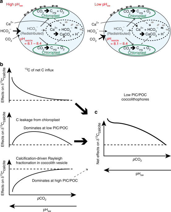 A coastal coccolithophore maintains pH homeostasis and switches ...