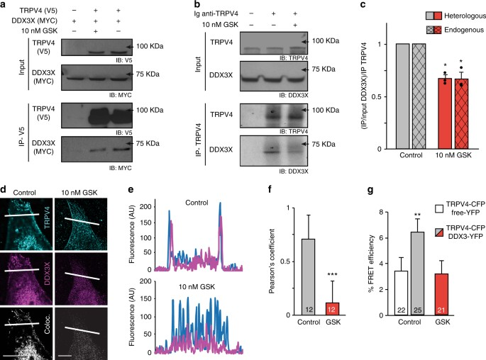 The Trpv4 Channel Links Calcium Influx To Ddx3x Activity And Viral