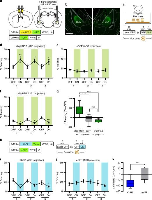 anterior cingulate cortex and its input to the basolateral amygdala