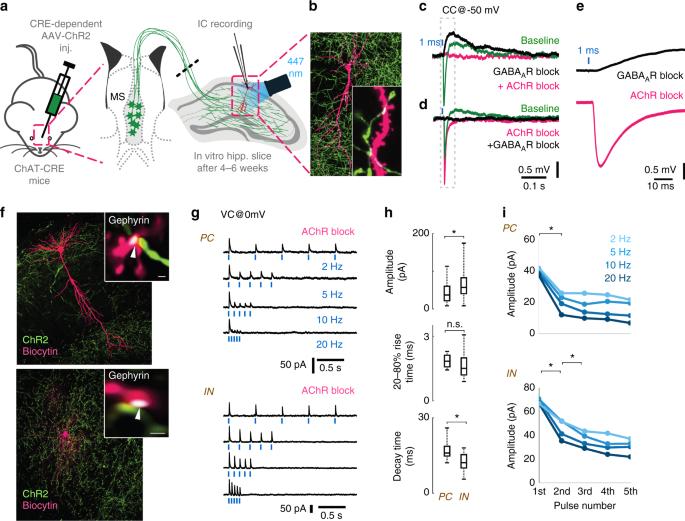 Co transmission of acetylcholine and gaba regulates hippocampal fig 3 fandeluxe Images
