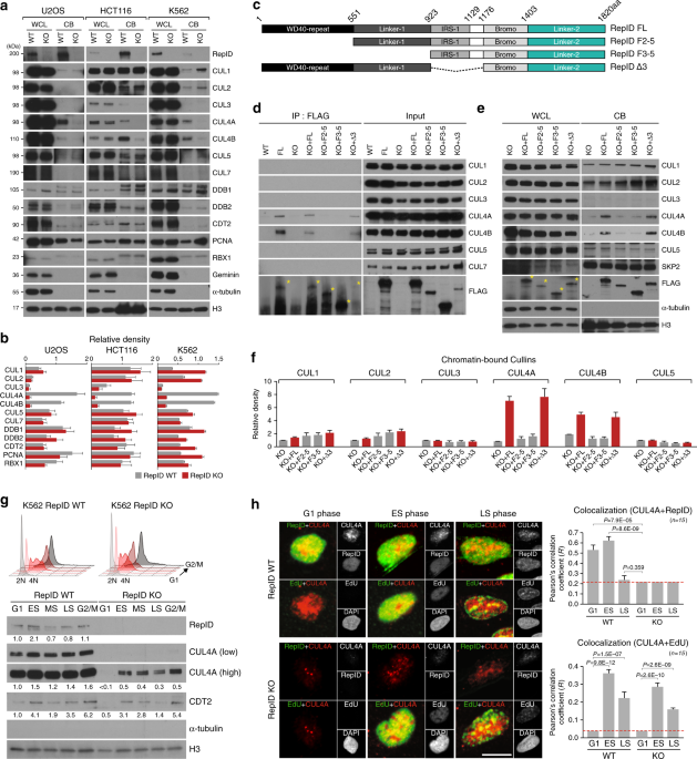 The replication initiation determinant protein (RepID ...