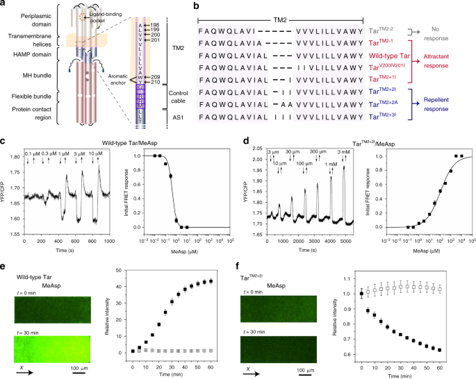 Inverted signaling by bacterial chemotaxis receptors | Nature ...