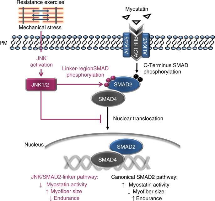 JNK regulates muscle remodeling via myostatin/SMAD ...
