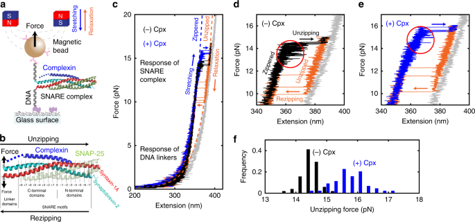 Focused Clamping Of A Single Neuronal Snare Complex By Complexin
