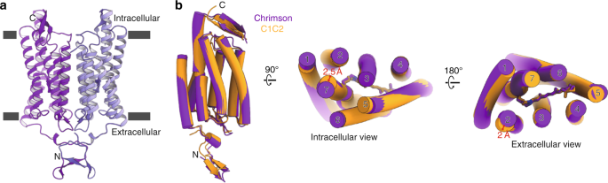 Crystal structure of the red light-activated channelrhodopsin