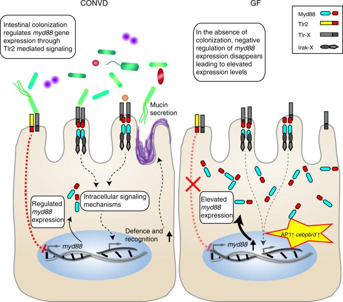 Intestinal microbiome adjusts the innate immune setpoint during colonization through negative regulation of MyD88