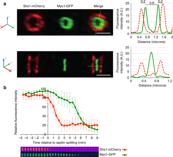 Recruitment of the mitotic exit network to yeast centrosomes