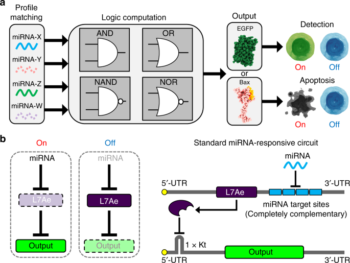 schematic representation of the mirna-responsive circuit and its topology   a logic circuits can be constructed to detect cell-specific multiple mirnas  as