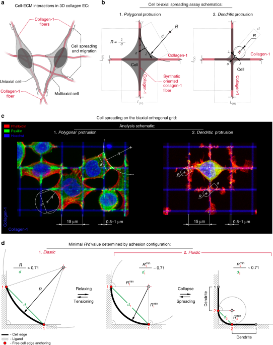 Biomimetic Platform To Define Directional And Mechanical Guidance Cues A Schematic Of Prominent Cell Adhesion Interactions In 3D Fibrous Microenvironments