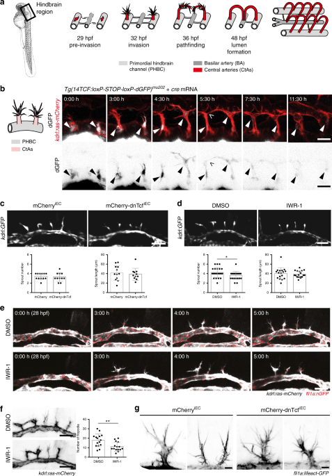 Wnt Signaling Is Not Required For Migration Of Brain Capillary Sprout Ecs A Ilration Hindbrain Angiogenesis In Zebrafish Embryos