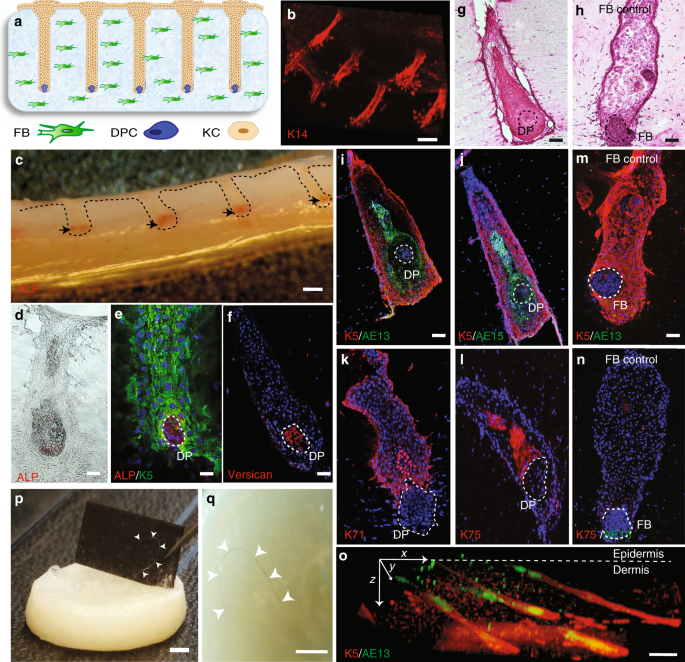 Tissue engineering of human hair follicles using a biomimetic developmental approach