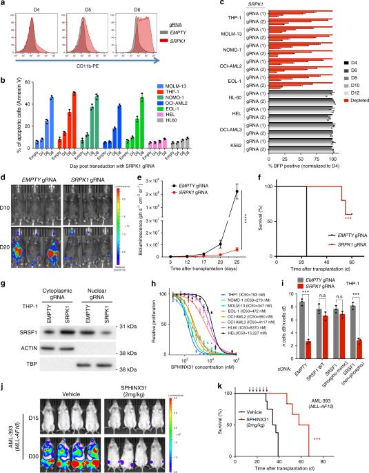 SRPK1 maintains acute myeloid leukemia through effects on isoform