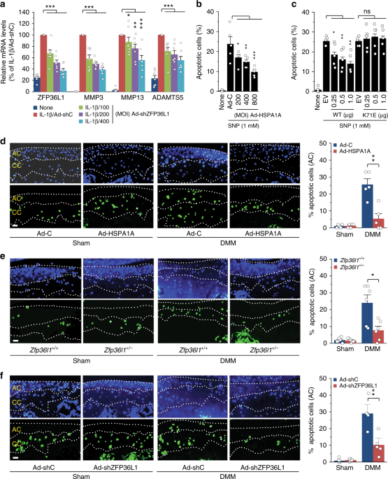RNA-binding protein ZFP36L1 regulates osteoarthritis by modulating members of the heat shock protein 70 family