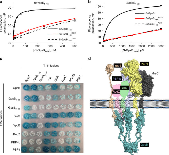 The cell cycle regulator GpsB functions as cytosolic adaptor for multiple cell wall enzymes