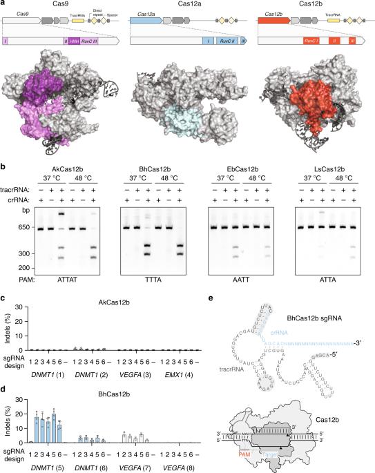 Engineering of CRISPR-Cas12b for human genome editing