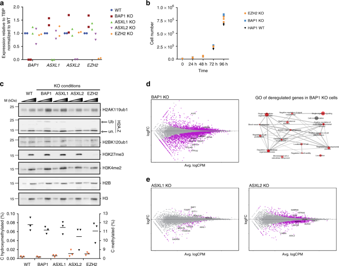 BAP1 complex promotes transcription by opposing PRC1-mediated H2A