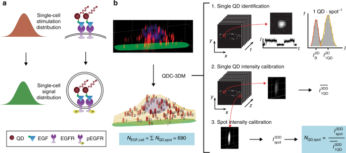 Counting growth factors in single cells with infrared