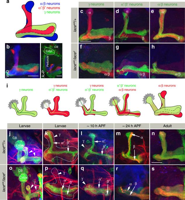 Sphingolipid-dependent Dscam sorting regulates axon segregation
