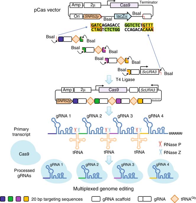 A gRNA-tRNA array for CRISPR-Cas9 based rapid multiplexed
