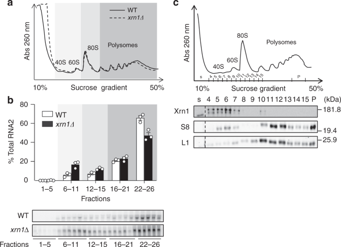 The exonuclease Xrn1 activates transcription and translation of mRNAs encoding membrane proteins