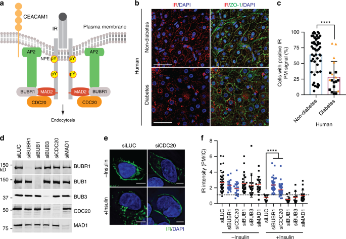 Mitotic regulators and the SHP2-MAPK pathway promote IR endocytosis