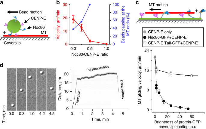 Microtubule end conversion mediated by motors and diffusing
