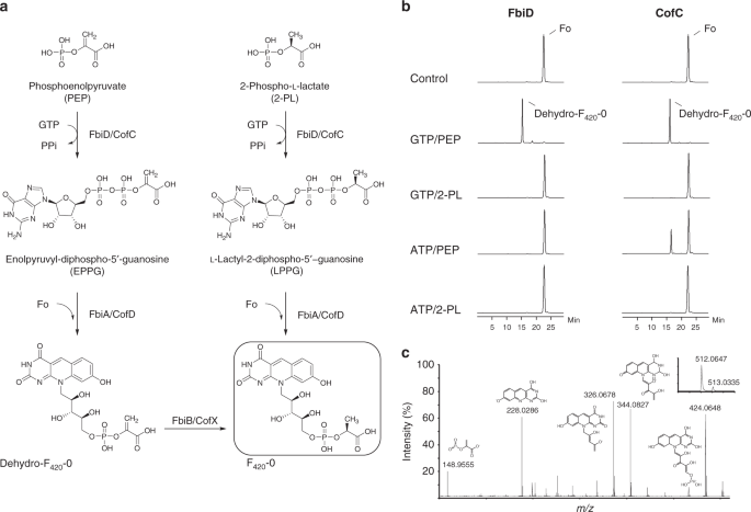 A revised biosynthetic pathway for the cofactor F<sub>420</sub> in prokaryotes