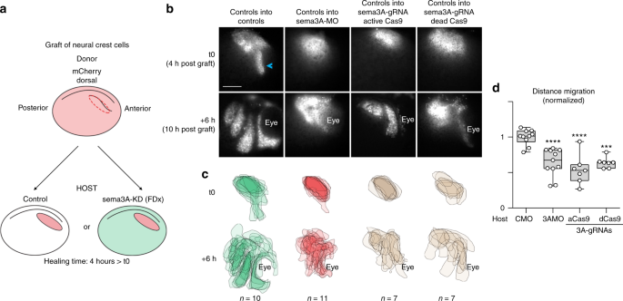 In vivo topology converts competition for cell-matrix adhesion into directional migration