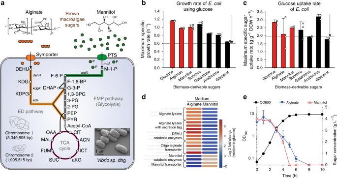 Vibrio sp. dhg as a platform for the biorefinery of brown macroalgae