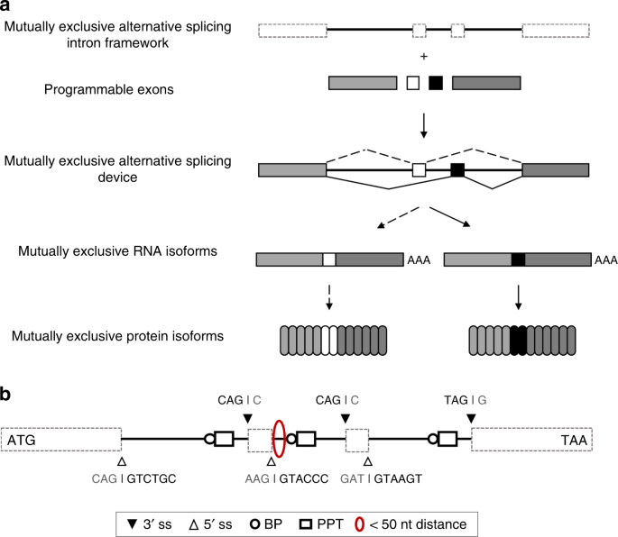 QnA VBage Programmable mutually exclusive alternative splicing for generating RNA and protein diversity