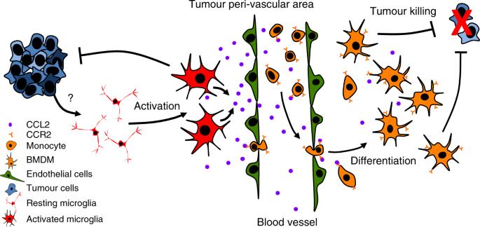 Tumour-associated macrophages exhibit anti-tumoural properties in Sonic Hedgehog medulloblastoma