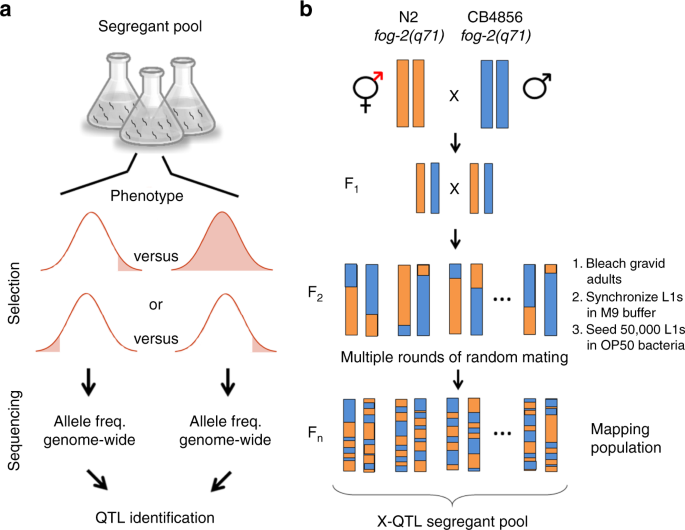 Fast genetic mapping of complex traits in C  elegans using