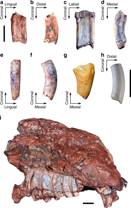Early evidence of molariform hypsodonty in a Triassic stem