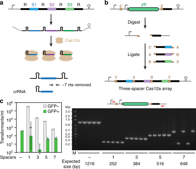 Modular one-pot assembly of CRISPR arrays enables library
