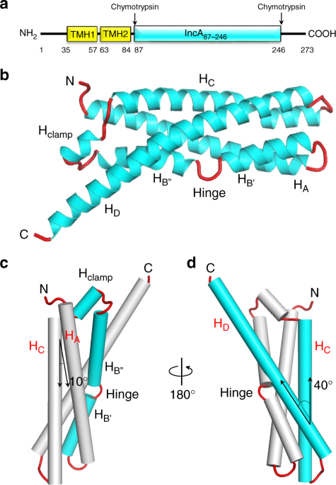 QnA VBage Structural basis for the homotypic fusion of chlamydial inclusions by the SNARE-like protein IncA