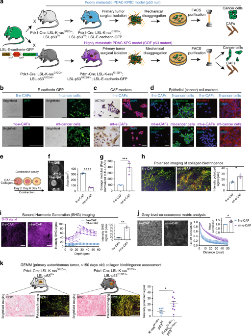 CAF hierarchy driven by pancreatic cancer cell p53-status creates a