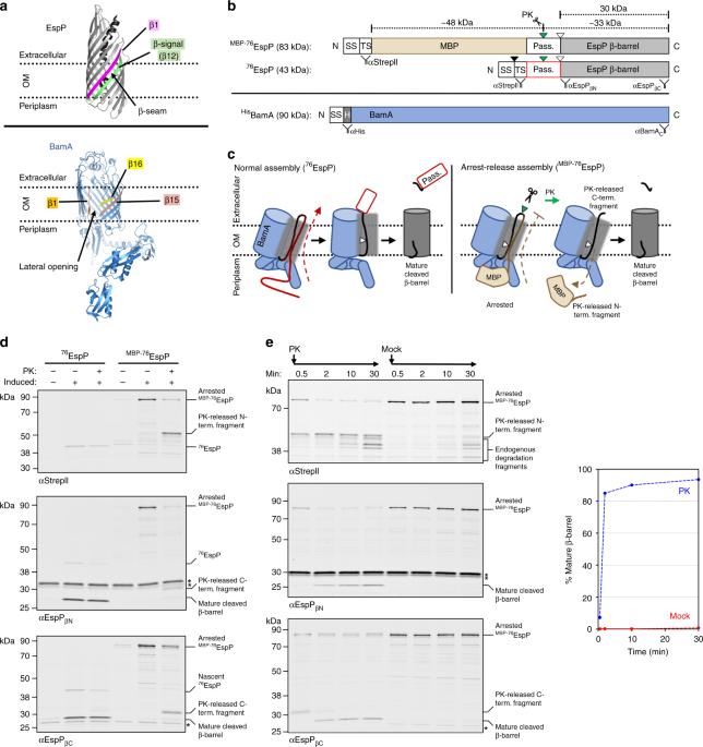 Bacterial Outer Membrane Proteins Assemble Via Asymmetric