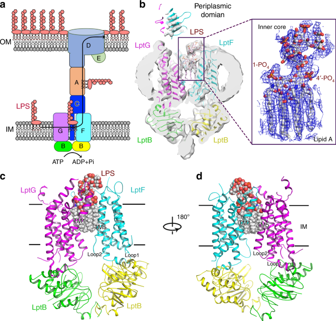 Download Hairstyles Pnp: Cryo-EM Structures Of Lipopolysaccharide Transporter LptB