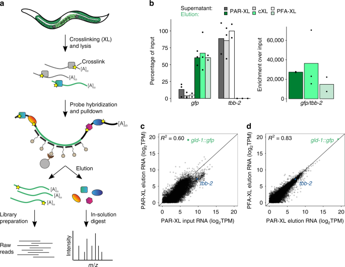 Identification of proteins and miRNAs that specifically bind an mRNA in vivo